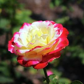 Cynthia Guinn - Rose With Colorful Tips