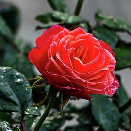 Rose with Raindrops by Lyuba Filatova