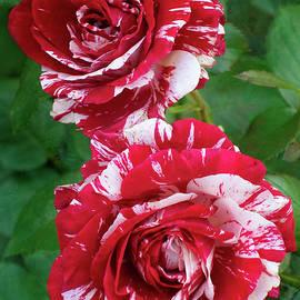 Rose029 by Isabela and Skender Cocoli