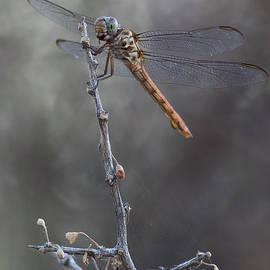 Roseate Skimmer Dragonfly  by Bryan Keil