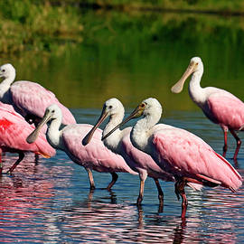 Roseate Spoonbill Flock by Sally Weigand