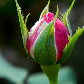 Rosebud - 2 by Arlane Crump