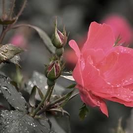 Karen Majkrzak - Roses and Raindrops