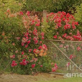 Elaine Teague - Roses by the Garden Gate