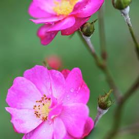 Vishwanath Bhat - Roses in diagonal