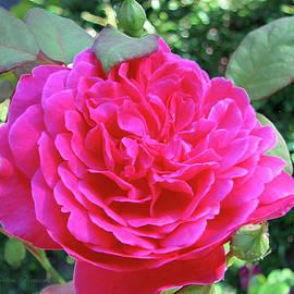 Brooks Garten Hauschild - Rosy and her Buds