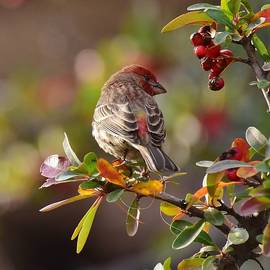 Rosy Finch and Red Berries 1 by Linda Brody
