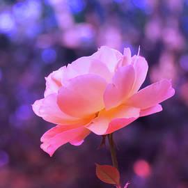 Brooks Garten Hauschild - Rosy Glow Pink Rose - Floral Photography from the Garden