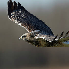 Rough-Legged Hawk - Glide by Jestephotography Ltd