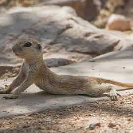 Tam Ryan - Round-tailed Ground Squirrel 1995