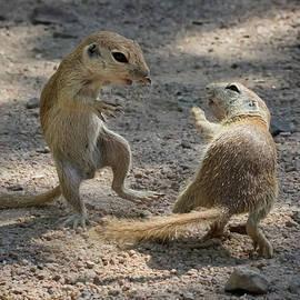 Tam Ryan - Round-tailed Ground Squirrel Ninja 1741