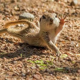 Tam Ryan - Round-tailed Ground Squirrel Stretch