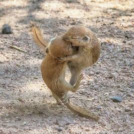 Tam Ryan - Round-tailed Ground Squirrels Fight 1746