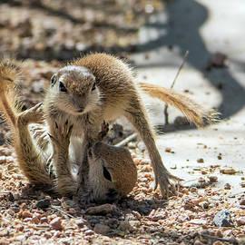 Tam Ryan - Round-tailed Ground Squirrels Playing 0219