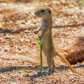 Tam Ryan - Round-tailed Ground Squirrel
