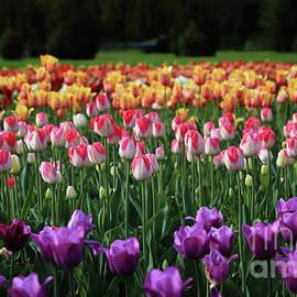 Rachel Cohen - Rows of Tulips