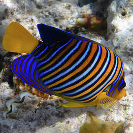 Royal Angelfish Macro 2 by Johanna Hurmerinta