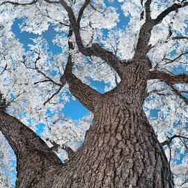Norman Gabitzsch - Royal Live Oak in Infrared