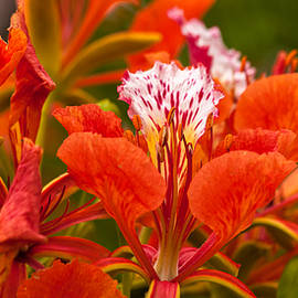 Royal Poinciana by Ed Gleichman