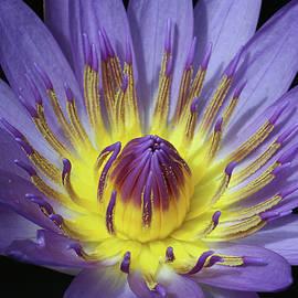 Judy Whitton - Royal Purple Water Lily #20