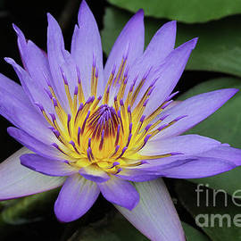 Judy Whitton - Royal Purple Water Lily #24