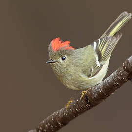 Ruby-crowned Kinglet Display by Mircea Costina Photography