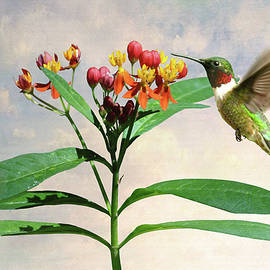 Ruby-throated Hummingbird and Milkweed Flower by M Spadecaller