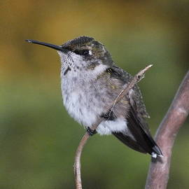 Cindy Treger - Regal Ruby-throated Hummingbird