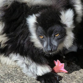 Margaret Saheed - Ruffed Lemur With Pink Flower