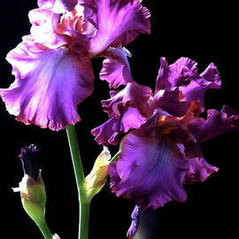 Lillian Bell - Ruffled Purple Iris