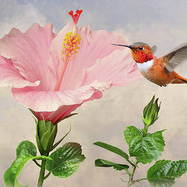 Rufous Hummingbird and Pink Hibiscus Flower by M Spadecaller