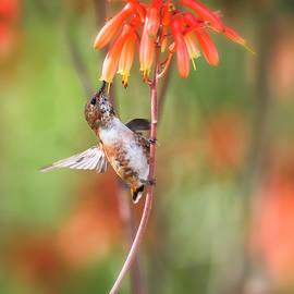 Saija Lehtonen - Rufous Hummingbird