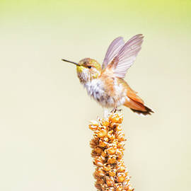 Ruth Jolly - Rufous ready to fly