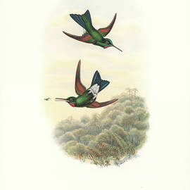 Rufous-webbed Brilliant Hummingbird Heliodoxa Branickii by John and Elizabeth Gould