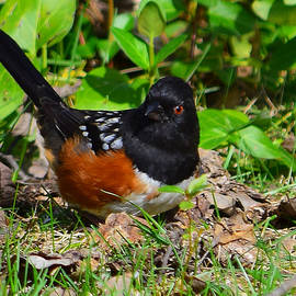 Alan C Wade - Spotted Towhee - 2