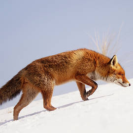 Running up that hill -Red Fox in the Snow - Roeselien Raimond