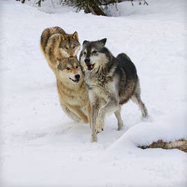 Steve McKinzie - Running Wolves