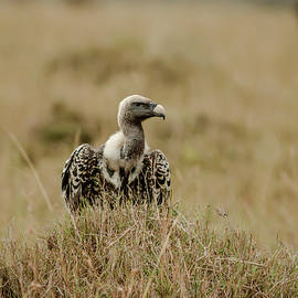 Ruppells Griffon Vulture by Ramabhadran Thirupattur