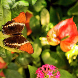 Kay Brewer - Rusty-Tipped Page Butterfly Again