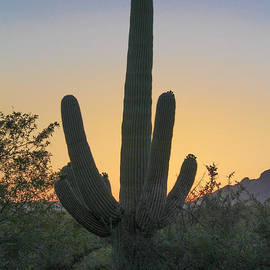 Sabino Canyon Cactus Sunset by Jemmy Archer