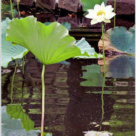Geraldine Scull - Sacred lotus flower and pad with reflection