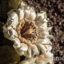 Saguaro Bloom by Robert Bales