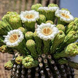 Saija Lehtonen - Saguaro Blooms - Arizona State Flower
