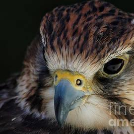 Saker Falcon Beauty by Sue Harper