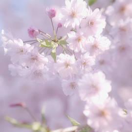 Sakura Trees by Luv Photography