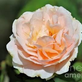 Diann Fisher - Salmon Pink Rose Bloom