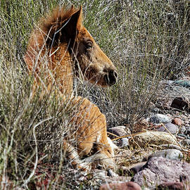 Salt River Foal Finding A Spot To Rest by Belinda Greb