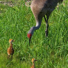 Richard Rizzo - Sandhill Crane and babies 2