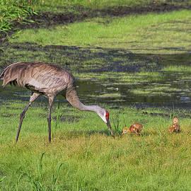 Richard Rizzo - Sandhill Crane and babies 3