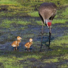 Richard Rizzo - Sandhill Crane and babies